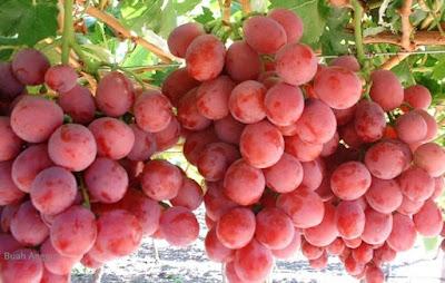 #Khasiat Buah Anggur  Mengurangi Dahak Di Tenggorokan Tanpa Obat
