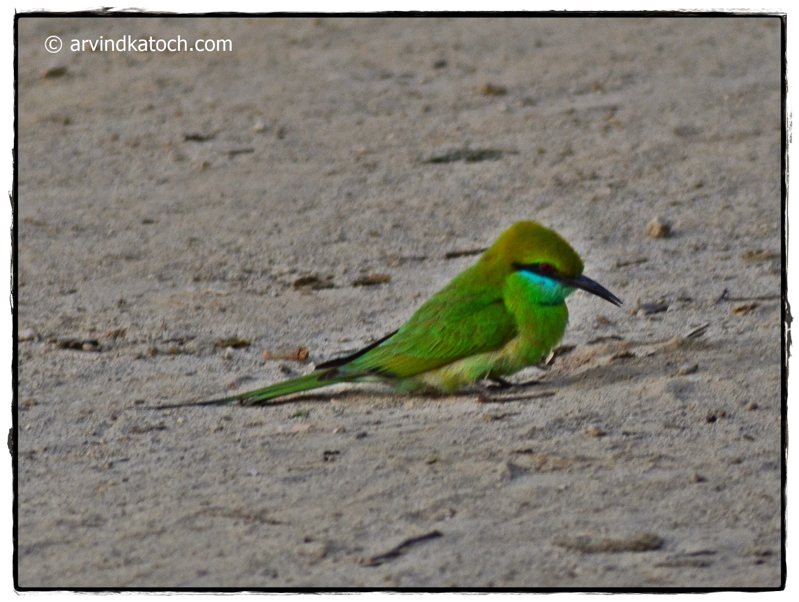Green Bee-eater, Ground
