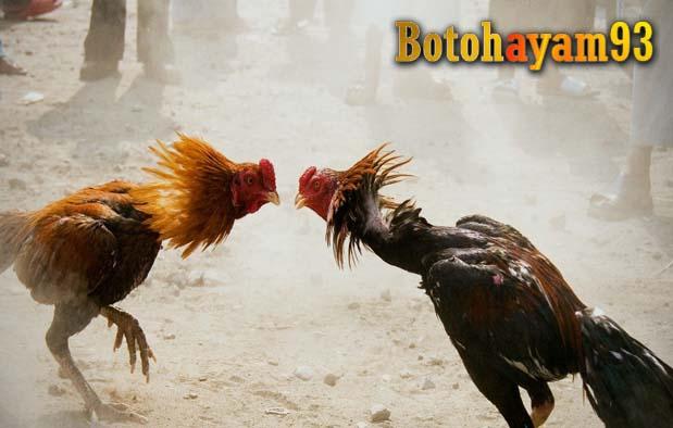 76+ Gambar Ayam Jago Tarung Paling Hist