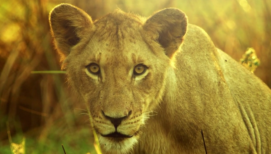 NAT GEO WILD REVITALIZES ON-AIR CREATIVE FOR AFRICA'S WILD KINGDOM REBORN
