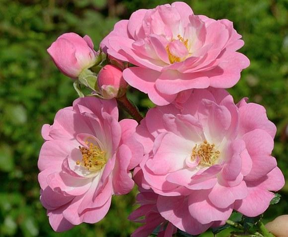 Satina сорт розы Тантау фото купить саженцы Минск