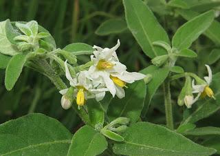 Flores blancas de hierba mora (Solanum nigrum)