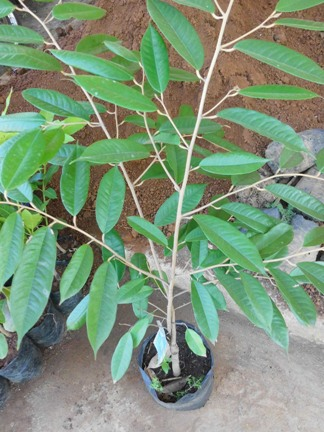 Durian Simemang Berkualitas
