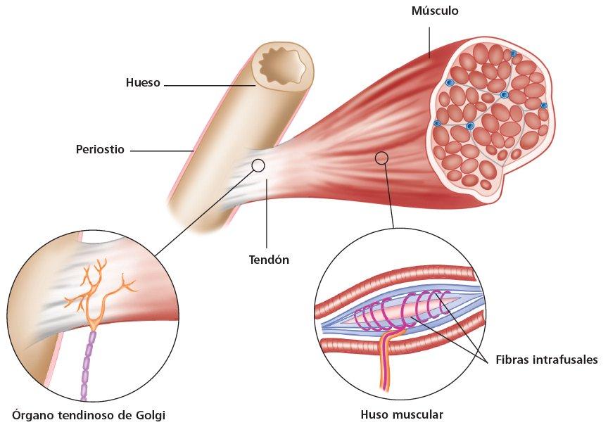 Lujoso Golgi órgano Tendinoso De La Anatomía Motivo - Anatomía de ...