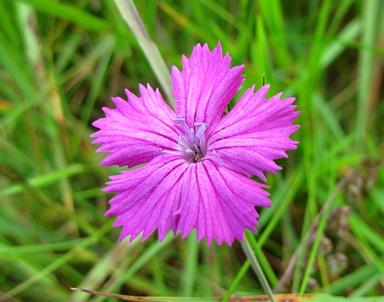 Goździk kartuzek (Dianthus carthusianorum).