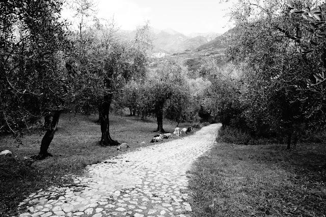 Gaj oliwny, Arco, Włochy. Krajobraz. Czarno-biała fotografia. fot. Łukasz Cyrus