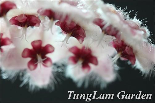 cẩm cù, hoa cẩm cù, hoya caudata, cẩm cù lông, hoa treo, hoa treo ban công, hoa leo