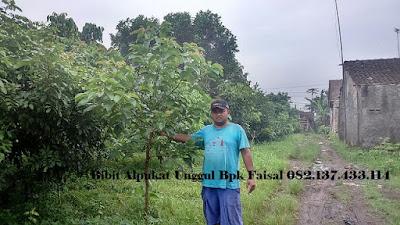 Bibit Alpukat Unggul Bpk Faisal - 082.137.433.114
