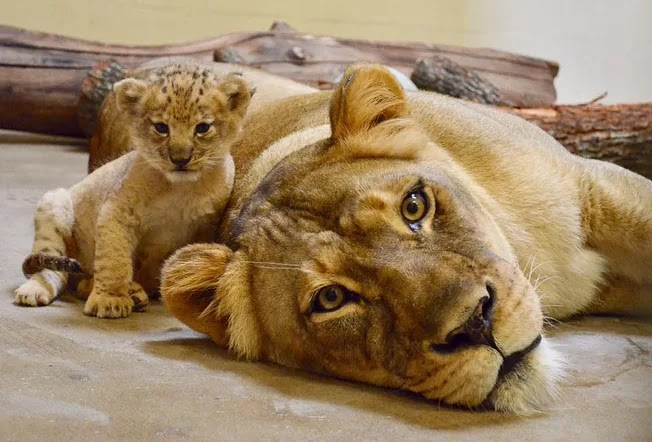 This Adorable Lion Is The Model For Baby Simba In The Live-Action Lion King