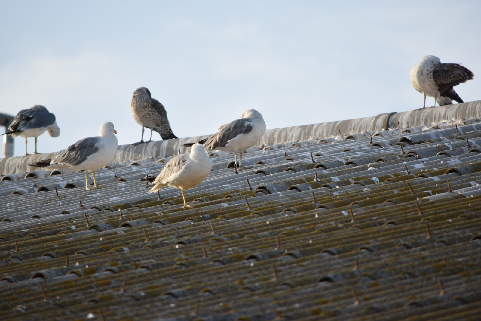 Gulls and Pardelas