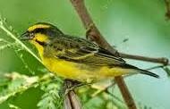 Burung mozambik sepintas mirip burung kenari namun suara banyak diyakini mirip seperti bur Cara Perawatan Burung Mozambik Agar Cepat Gacor