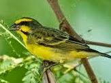 Cara Perawatan Burung Mozambik Agar Cepat Gacor