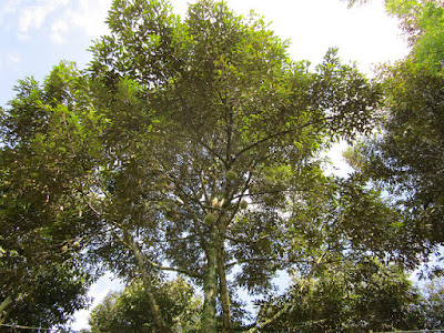 Durio zibethinus tree