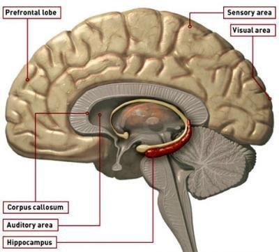 Ilustrasi ammon horn. ammon horn memiliki suatu daerah yang bernama hippokampus, yang merupakan area utama dalam pemeriksaan rabies