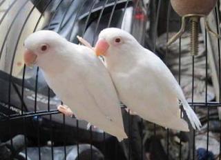 https://www.mastimon.com/2018/09/cara-merawat-anakan-lovebird-dengan.html