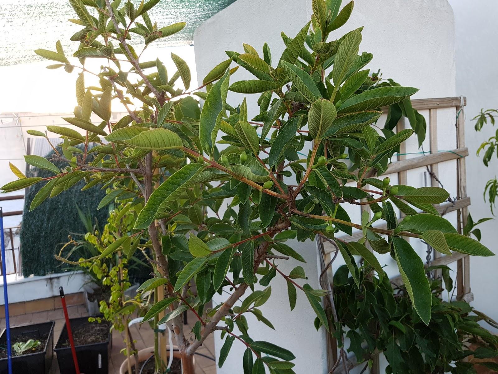 como plantar un arbol de guayaba wwwimagenesmycom