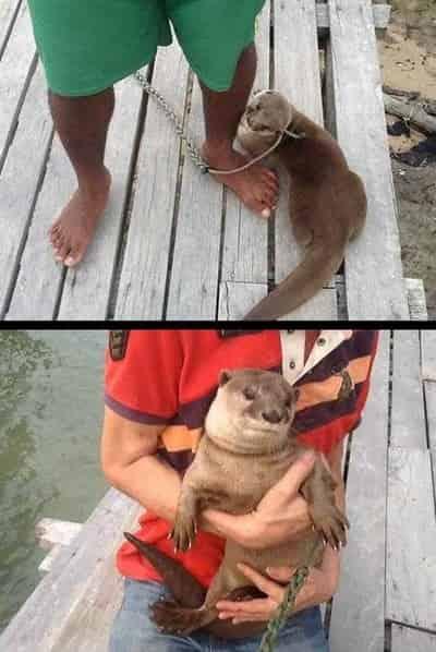 Johor Amazing Stories - naughty sea otter Sg tiram