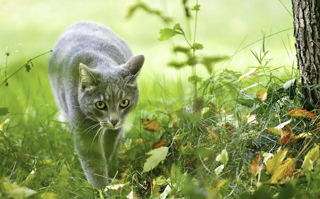 Grijze kat sluipend door struikgewas