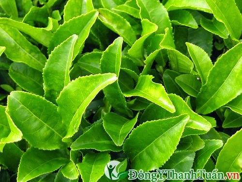 Mẹo chữa đau răng từ trà xanh