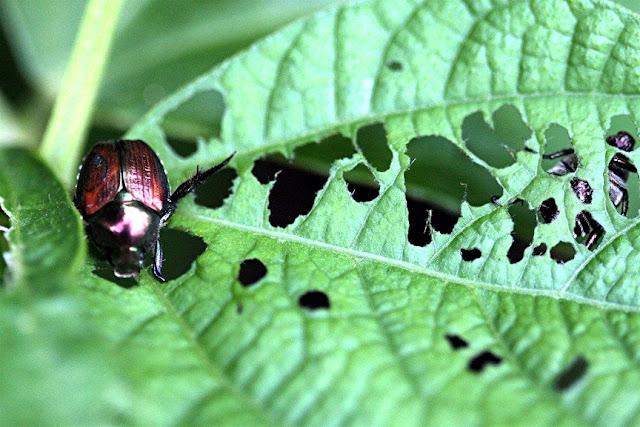 Οικολογικό εντομοκτόνο για τον κήπο σας
