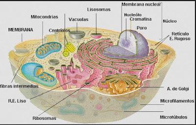 http://recursostic.educacion.es/ciencias/biosfera/web/alumno/4ESO/seruni-pluricelulares/index.htm