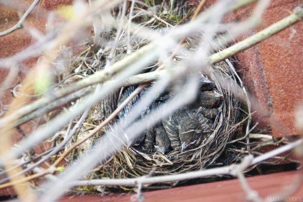 aliciasivert, alicia sivertsson, blackbird, bird, nest, birdnest, bird nest, birds, chick, chicks, nestlings, nestling, squeaker, squeakers, baby bird, baby birds, fågelbo, koltrast, koltrastbo, koltrastungar, fågelungar, fågelunge, unge, ungar, vår