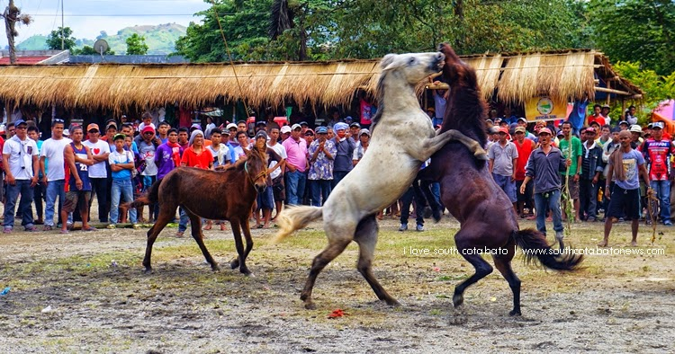 Horse Fighting in Lake Sebu