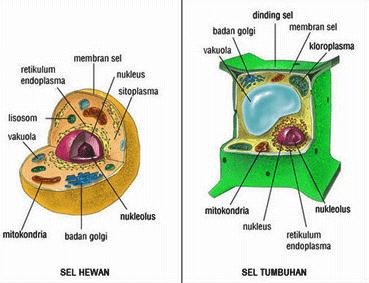 Beberapa Perbedaan Sel Hewan Dan Tumbuhan