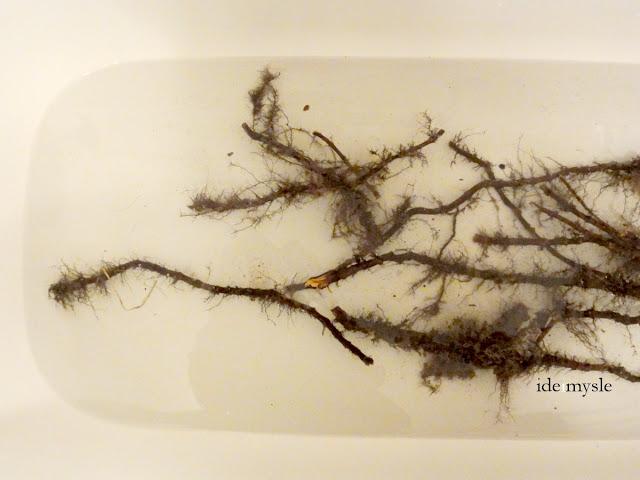 rdestowiec japoński, fallopia japonica, podziemne łodygi, rośliny lecznicze, rośliny inwazyjne