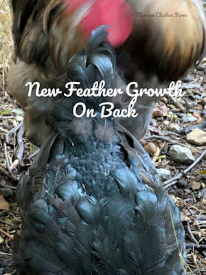 fall molting in chickens