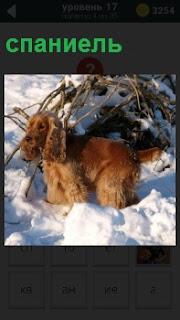Собака породы спаниель коричневого цвета в снегу играет в солнечную погоду