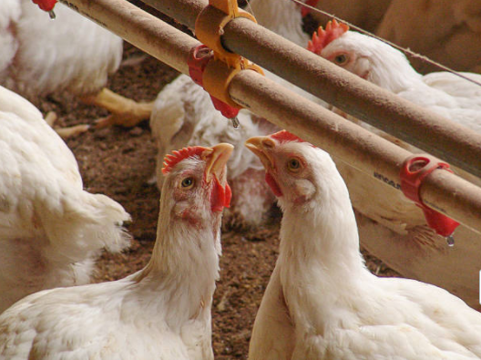 aves-livros-pdf-veterinaria
