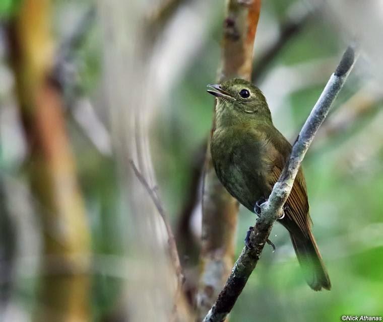 argentinian rare birds