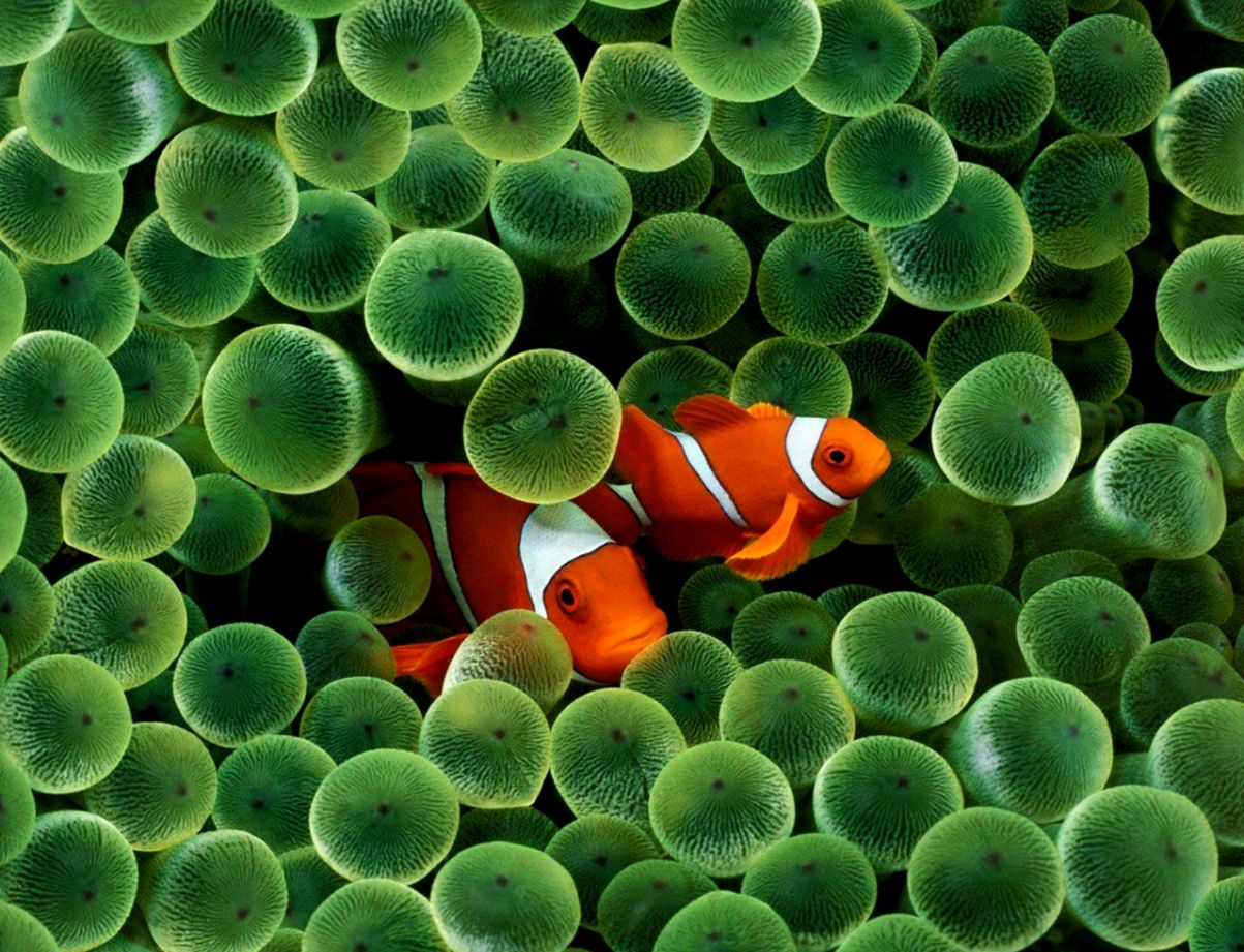 Clown Fish Hd Wallpapers   Lib Wallpapers