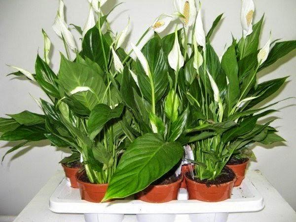 Комнатные растения: как правильно подготовить их к зиме картинки