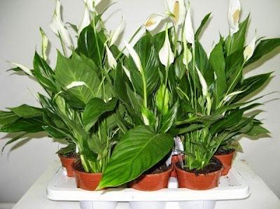 комнатные цветы,подкормка для комнатных цветок,как подкормить комнатные цветы