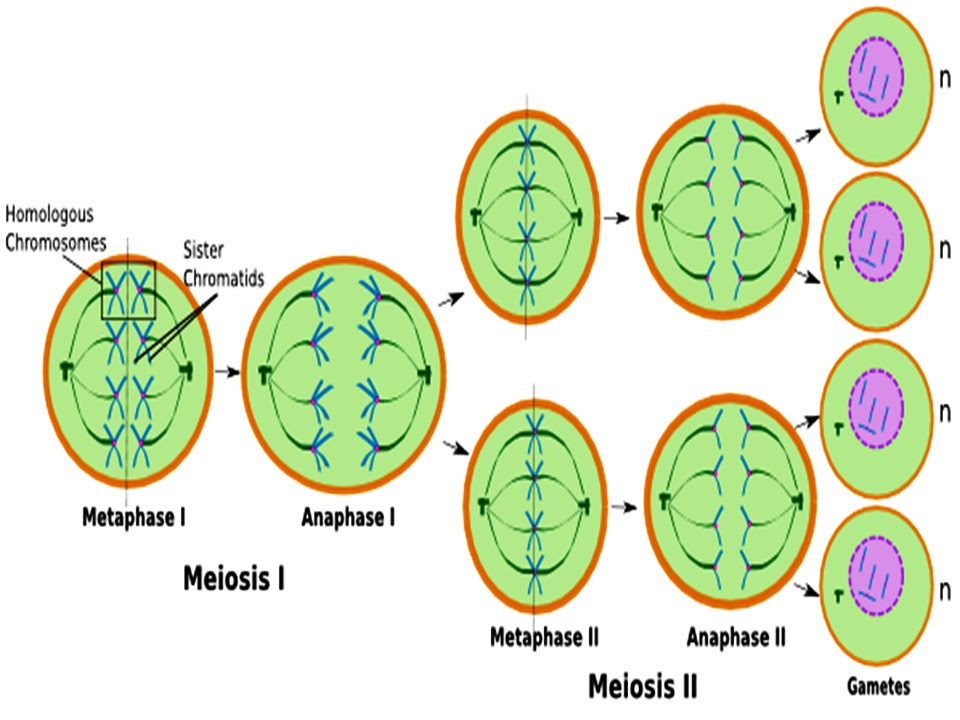 Sonu Academy  Meiosis And Reduction Division