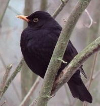 Turdus merula. Pájaro negro. Ave europea.