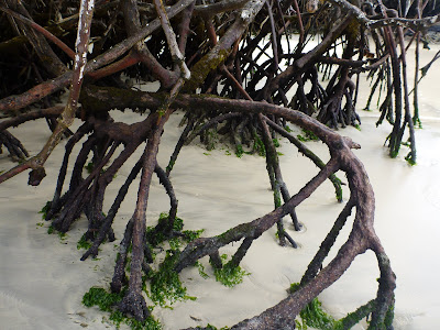 Rhizophora mangle - Red Mangrove, Galapagos