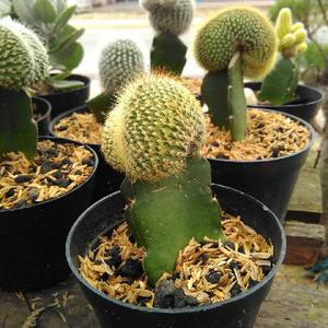 pohon kaktus mini dan sukulen