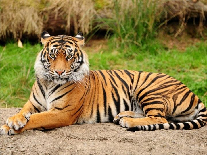 Fakta di Balik Harimau Sumatera yang Terancam Langka