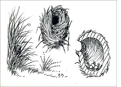 nidos de Curutié ocráceo Cranioleuca sulphirifera