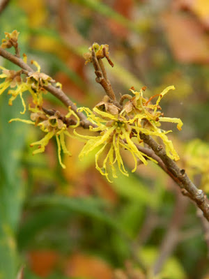 Hamamelis virginiana common witch hazel blooms at the Toronto Botanical Garden by garden muses-not another Toronto gardening blog