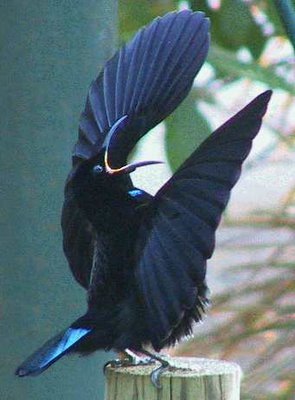Riflebird Paradise (Ptiloris paradiseus)