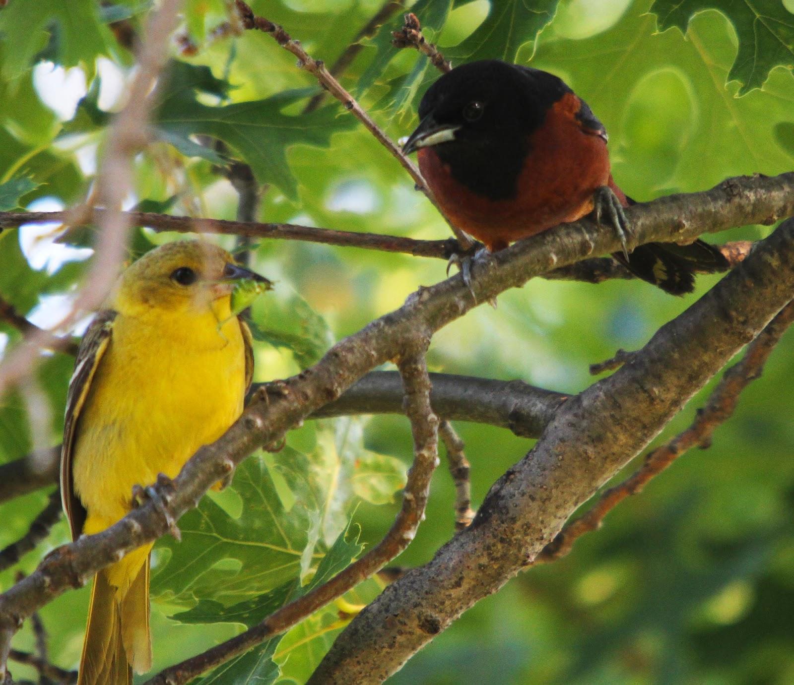 Orchard Oriole Nest - photo#12