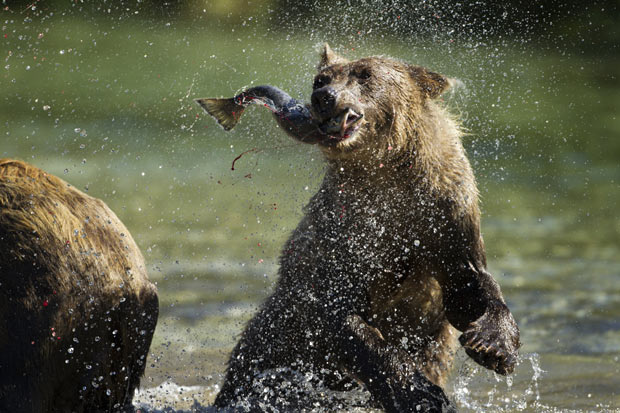 gull and brown bear symbiotic relationship