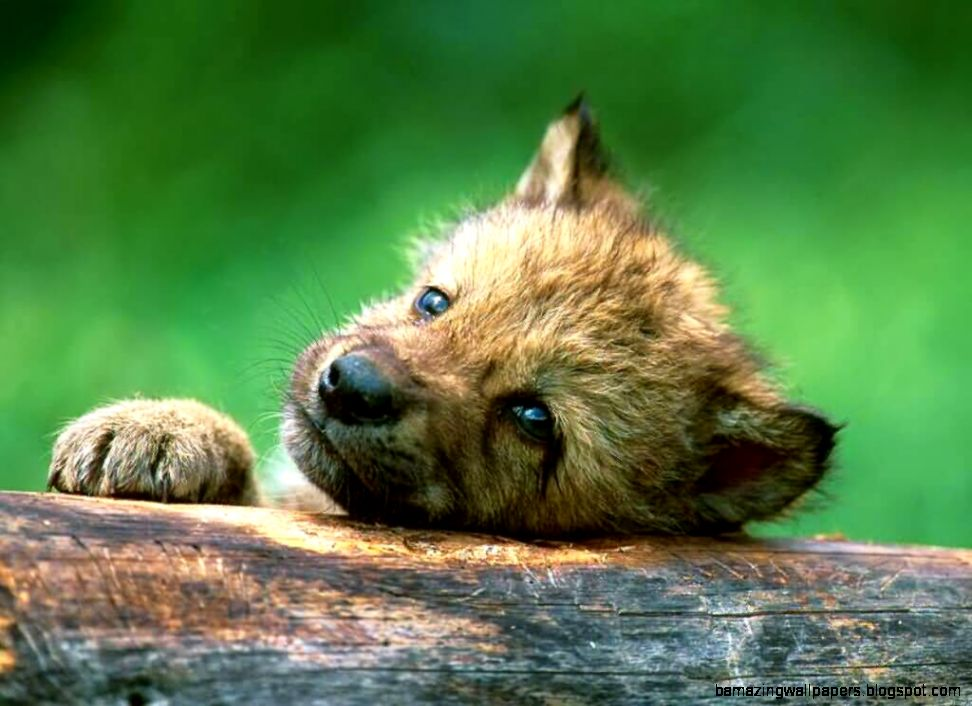 Baby Wolf Wallpaper | Amazing Wallpapers