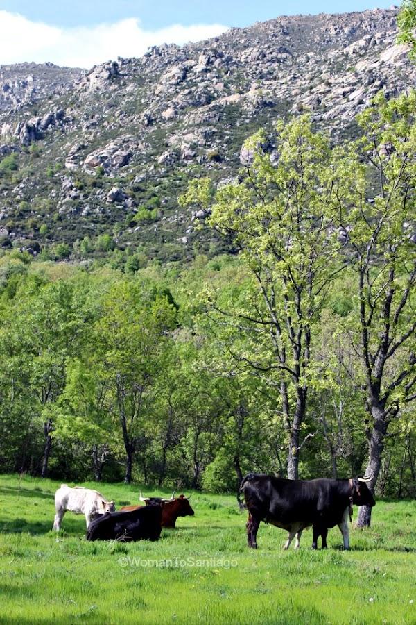 camino-de-santiago-madrid-vacas-manzanares-el-real