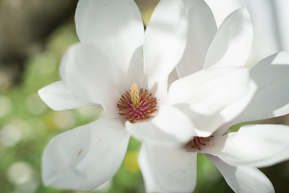 Magnolienblueten-Fotografie