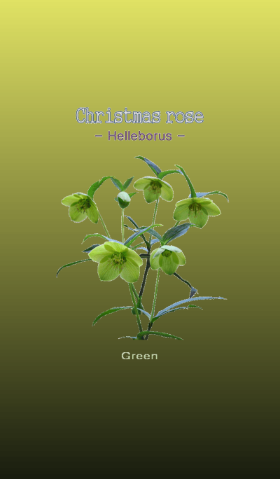 Christmas rose -Helleborus- Green